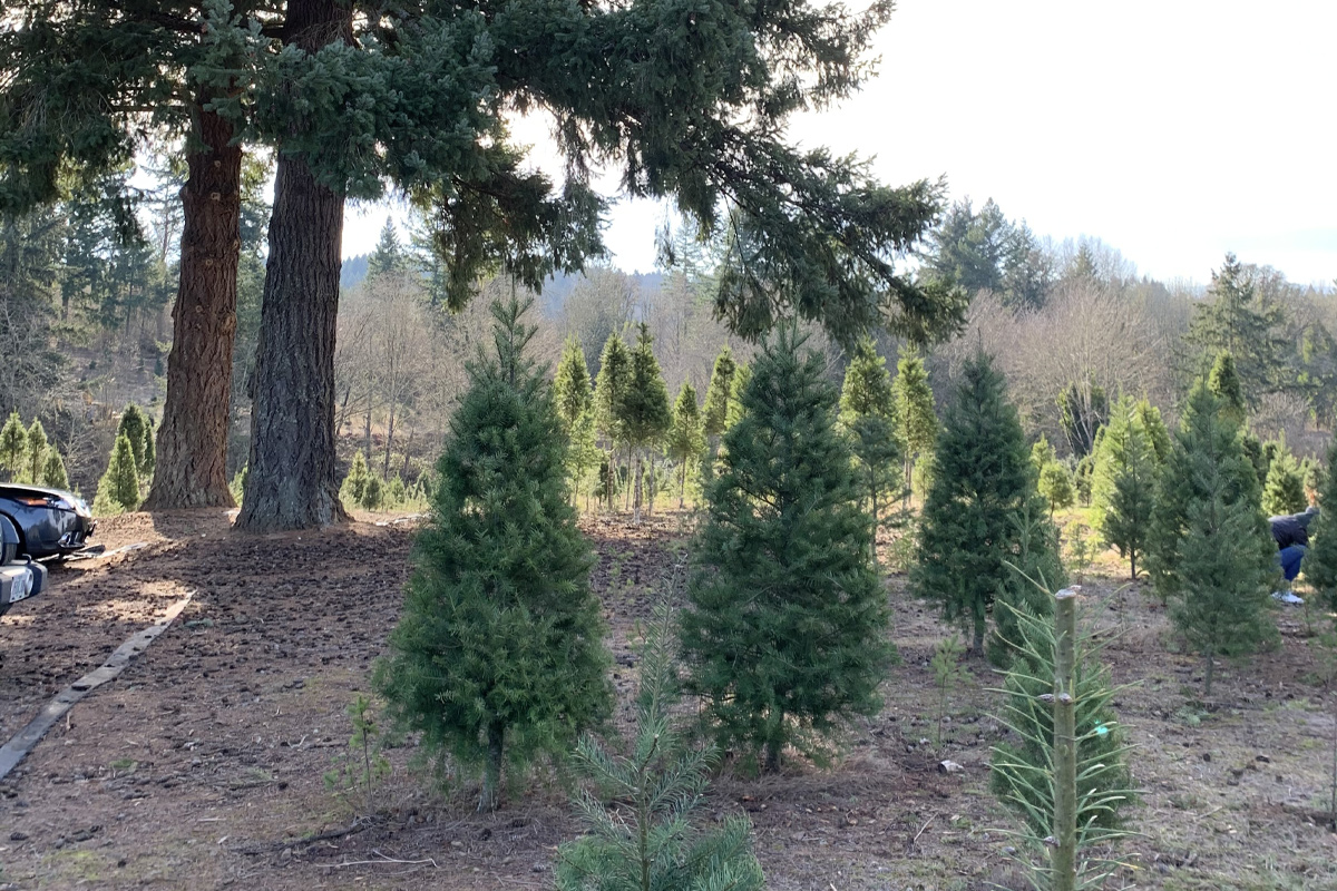 Quail Creek Ranch Christmas Trees