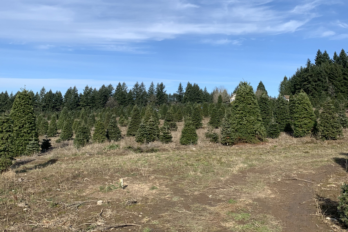 Quail Creek Ranch Christmas Trees in Portland